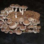 Shiitake, il fungo eccellente per la salute